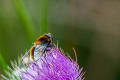 _DSC5620 (cradenborg) Tags: nature public outdoor wildlife c insects website portfolio insecten syrphidae diptera zweefvlieg zweefvliegen openbaar tweevleugeligen hommelbijvlieg ceradenborg radenborgnl ristalisintricaria