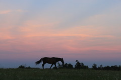 IMG_6682 (jroltmanns_) Tags: kentucky lexington sky sunset horse silhouette bluegrass landscape outdoor grassland field united states america summer unitedstates northamerica silhouettes horses midwest 2016 clouds stratus layers dusk south peaceful calm beautiful pretty majestic relax relaxed fayette county country countryside july thoroughbred bluegrassstate
