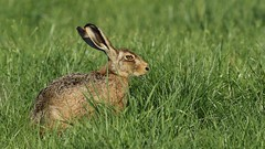 Shifty look from Mr Hare... (Cosper Wosper) Tags: brownhare somerset levels