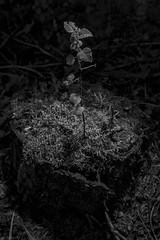 new tree (sami kuosmanen) Tags: finland forest flash suomi summer mets mustavalko tree tuulos trees creative valo valotus luonto light nature north exposure europe small pieni uusi new kanto stump dark tumma