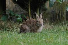 Poorly Bunny (Kay Musk) Tags: wildrabbit rabbit bunny animal furry wildlife wild nature nikond3200 essex uk myxomatosis myxo myxy