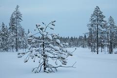 Tree in snow (samulihokkanen) Tags: winter snow tree bluemoment