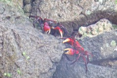 Pretty crabs wrestling (Stop carbon pollution) Tags: japan  honshuu