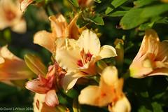 Day Lilies (David S Wilson) Tags: england fens fujifilmxpro1 flower fujinon35mm114rlens flowersplants ely 2016 davidswilson uk adobelightroom6