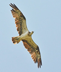 Osprey at Marquenterre (robmcrorie) Tags: marsh harrier marquenterre buzard parc somme bour des crocs nord france