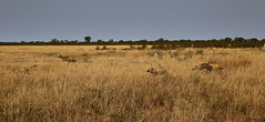 Wild Dogs (www.mattprior.co.uk) Tags: adventure adventurer journey explore experience expedition safari africa southafrica botswana zimbabwe zambia overland nature animals lion crocodile zebra buffalo camp sleep elephant giraffe leopard sunrise sunset