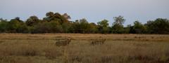 Morning Wander (www.mattprior.co.uk) Tags: adventure adventurer journey explore experience expedition safari africa southafrica botswana zimbabwe zambia overland nature animals lion crocodile zebra buffalo camp sleep elephant giraffe leopard sunrise sunset