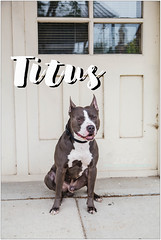 Titus (living_dead_babe) Tags: bully dog breed charity animal woof