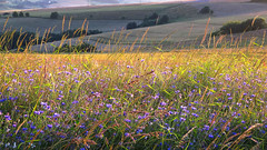 blue backlit (All Shine) Tags: field landscape colors light sunset wildflowers evening