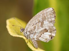 Cacyreus Marshalli (Patrcia. Ferreira) Tags: canon 6d 100mm l raynoxdcr250 mt24ex macro green butterfly lepidoptera lycaenidae