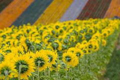 Flowerfield (Role Bigler) Tags: biei blumenfelder canonef70200lisusm canoneos5dsr flowerfields hokkaido japan nippon flora flower sonnenblumen sunflower jp