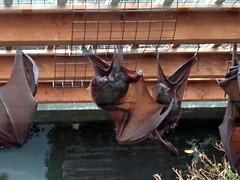 BatsColumbusZoo052612d (homeboy63) Tags: spring 2012 ohio columbus zoo fauna