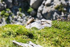 Alp Naraus (oonaolivia) Tags: murmeltier marmots wanderung walkingtour hiking alpnaraus graubnden grisons landscape landschaft