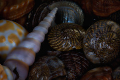 Seashells (KellarW) Tags: sea shells seashells rich shell philips earthy seashell hue stylized earthtones snailshell seasnail richcolors focusstack stackedfocus focusstacking deepcolors focusstacked stackfocus seasnailshell 5dmkiii 5dmarkiii canon100mmf28l canon5diii 5diii