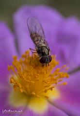 Mosca cernidora ( alfanhu) Tags: macro closeup fly sella mosca jara rockrose sieving cernidora camdelclera