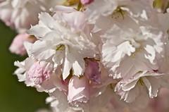 Cherry Blossoms (nebulous 1) Tags: seattle flower macro nature washington flora nikon blossoms explore cherryblossoms d7000 nebulous1