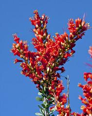 Ocatillo in Bloom (Fouquieria splendens); Catalina, AZ [Lou Feltz] (deserttoad) Tags: red arizona plant nature flora desert blossom shrub