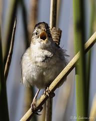 Marsh Wren (Bob Gunderson) Tags: sanfrancisco california birds northerncalifornia wrens boathouse lakemerced marshwren cistothoruspalustris canoneos7dmarkii