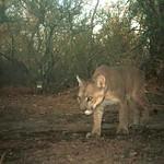 "Puma macho - Chaco <a style=""margin-left:10px; font-size:0.8em;"" href=""http://www.flickr.com/photos/132693845@N03/16901838793/"" target=""_blank"">@flickr</a>"
