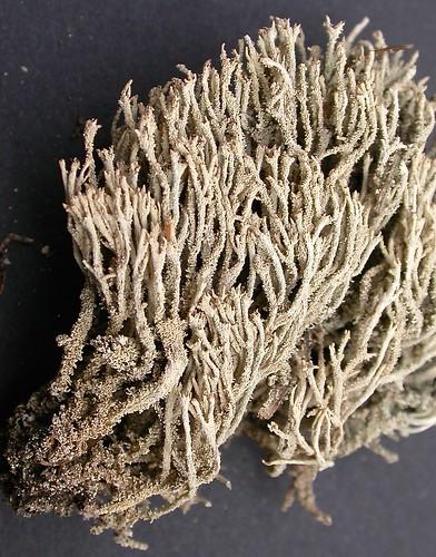 Cladonia phyllophora