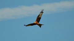 Roter Milan (Tobi NDH) Tags: bird nature animal wildlife natur tier vogel redkite milvusmilvus greifvogel milanroyal wildtier kaniaruda milanoreal rotmilan rodewouw milhafrereal gabelweihe isohaarahaukka rdglada rotermilan rdglente knigsweihe nibbioreale glente kzlaylak vrsknya rudasispeslys    lukerven  hajaerven  qrmzalaan  kaniardzawa gaieroie  rjavikarnik