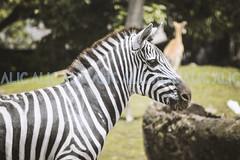 8 (ALIC - Comunicaciones) Tags: santa animals de real zoo la colombia avestruz zoológico animales fe cristo imagen medellín pavo alic a