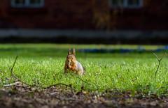 ATA_4886 (Photographer Atacan Ergin) Tags: animal animals squirrel orava kurre