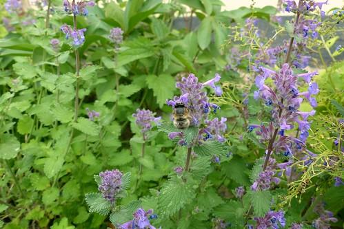 Biene im Park der evangelischen Kirche in Selzen