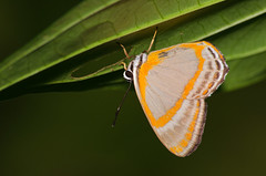 Euselasia zara (Leonel Baldoni) Tags: butterfly borboleta mariposa zara misiones andresito euselasia leobaldoni