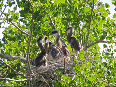 Nest is Crowded with Five Great Blue Heron Chicks (nature80020) Tags: bird nature colorado nest wildlife chicks rookery greatblueherons metzgerfarmopenspace