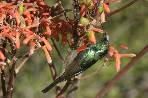 Greater Double-collared Sunbird, Addo National Park,