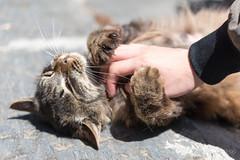 田代島 やまと (GenJapan1986) Tags: 2016 はま屋 ネコ 動物 宮城県 田代島 石巻市 離島 日本 nikond610 japan miyagi tashirojima island cat animal