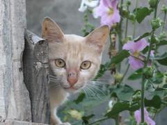 Cats_in_Trabzon (Sasha India) Tags: cat turkey chat trkiye tur trkorszg journey gato  macska turquia kedi trabzon