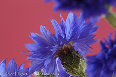 IMG_8283 (Florafotographica) Tags: 2016 flowers cornflowers
