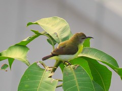 A purple-rumped sunbird [female] (Zaima Tasneem) Tags: purplerumpedsunbird leptocomazeylonica sunbird bird bangladesh nature