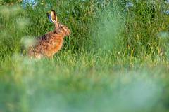 Feldhase - Lepus europaeus - European hare (Juliane Myja) Tags: hase wild wildhase feldhase feld lepuseuropaeus hare europeanhare tier animal sugetier fauna julianemyja rgen ostsee balticsea bokeh grn green natur nature frhling spring summer sommer rabbit