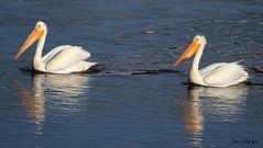 American White Pelicans (Sue D Sharpe) Tags: americanwhitepelican whitepelican pelican river floating current yellowstone yellowstonenationalpark wyoming usa