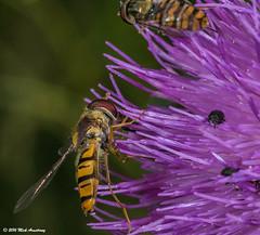 Hoverfly_Episyrphus balteatus08.jpg (T9FURY) Tags: july hoverfly rutlandwater 2016 episyrphusbalteatus
