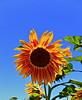 The Sunflower (Debbie Ashcraft) Tags: beginnerdigitalphotographychallengewinner sunflower
