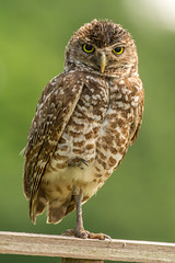 Burrowing owl (tonymodane) Tags: florida fortlauderdale davie burrowingowl browardcounty