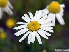 DSC_7091 (Roelofs fotografie) Tags: nikon d3200 wilfred roelofs nature flower flowers yellow white green nederland holland dutch margriet leucanthemum vulgare