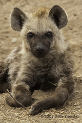 Spotted Hyena Pup Portrait (brucefinocchio) Tags: spottedhyenapupportrait spottedhyenapup hyena hyenapup krugernationalpark southafrica