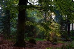 Alte Buche an der Platte (Forstbetrieb_Fichtelberg) Tags: buche bayerischestaatsforstenbaysfbayernfichtelbergfichtelgebirgewaldstaatswaldbaumbumenatur