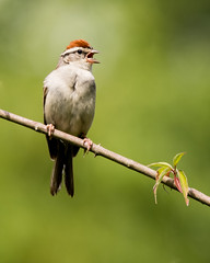 Chipping Sparrow (Nic.Allen.Birder) Tags: bird nature animal outdoor wildlife missouri sparrow parkville chipping passerina spizella