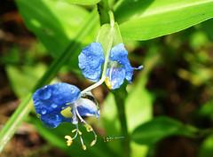 DSC04329 (radhkrishna) Tags: india flower nature kerala raindrops waterdrops wildflower smallflower payyanur ramanthali