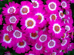 Cineraria (yewchan) Tags: flower flowers garden gardening blooms blossoms nature beauty beautiful colours colors flora vibrant lovely closeup cineraria cinerarias