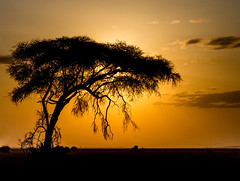 Acacia Sunset (tanepiper) Tags: africa nairobi safari tree acacia amboseli evening sunset kenya kajiado ke