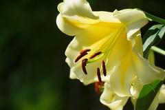 () /Lilium cv. (nobuflickr) Tags: 20160702dsc03868   liliumcv  lily japan flower kyoto thekyotobotanicalgarden nature    awesomeblossoms
