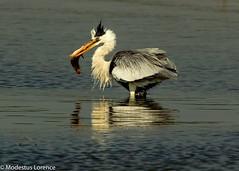 Grey Heron (Modestus Lorence) Tags: singapore birds greyheron fish fantasticnature natureitsbest naturereserve twop ngc
