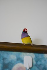 DSC_9243 (Jenny Yang) Tags:     lady gouldian finch pet bird